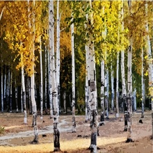 white birch tree seed, rare heirloom sacred white birch, a high survival rate of trees planted garden courtyard 100 seeds/lot