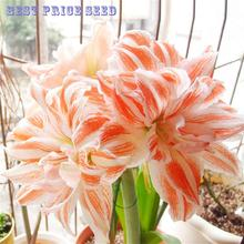 Hot sale 100 Pcs / Bag Amaryllis Seeds Balcony garden Lily Seeds and Bonsai Flower pots For Home Indoor Plants Flowers Semillas(China)
