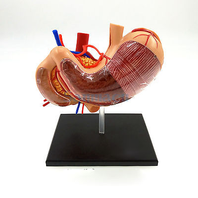 Human Stomach &amp; Internal Organs Anatomy Educational Model Kit by 4D Vision Assembly Training Aid 9 Parts<br>