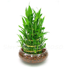Hot Sale 30Pcs Good Luck Bamboo Seeds DIY Bamboo House  Dracaena Seeds Potted Absorb Dust Tree Seeds Anti Radiation