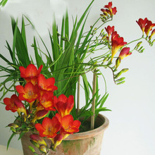 Red Freesia Seeds Freesia Flower Pot Garden Seeds Garden Terrace Perennial Flower Seeds 100PCS