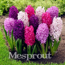 New Hyacinthus Orientalis seeds, cheap Hyacinth seeds, Hyacinth potted seed, Bonsai balcony flower seeds for home garden 50PCS