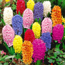 1 Bulb Garden Hyacinthus Mixed Color Flower Seeds Fresh Forced Bulb Water Hyacinth Fragrant Planting Hyacinths 1 Piece