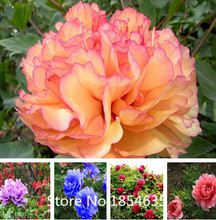 Garden Plant 20 Peony Seeds 2016 Garden Flowers Four Season Sowing World Flower Seeds Bonsai Seed(China)