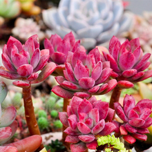New fashion 10 seeds per pack Succulent Red ECHEVERIA macdougallii seeds Rare quality plant Crassulacea flower seeds for bonsai(China)