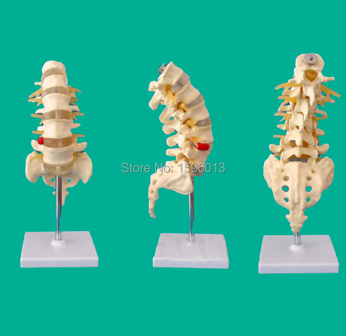 Life-Size Lumbar Vertebrae with Sacrum and Coccyx Model, Lumbar Vertebrae and caudal vertebra Model<br>