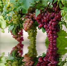 Rare species grape seeds giant red grapes Bonsai seeds DIY home garden fruit fruit tree potted plant 30pcs e41(China)