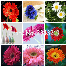 100pcs Gerbera Seed, Indoor Bonsai Plant Flower Seeds Perennial Garden Flowers Chrysanthemum Very Easy Grow Seedling Mixed Color(China)