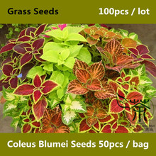 Plectranthus Scutellarioides Coleus Blumei Seeds 100pcs, Rainbow Mix Painted Nettle Seeds, Brightly Colored Flame Nettle Seeds