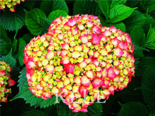 100pcs/lot Hydrangea macrophylla 'Magical Collection' seeds Bonsai potted plant DIY home garden free shipping,TBR4ZM