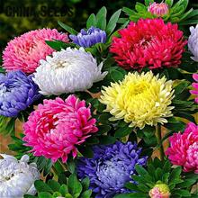 200 Pcs A Bag Aster Seeds , Rare Flower Seeds Bonsai Rainbow Chrysanthemum Seed Perennial Flowers Home Garden Plants Semillas *