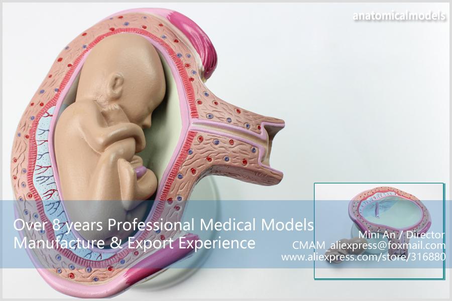 CMAM-ANATOMY12 Embryonic development model 3