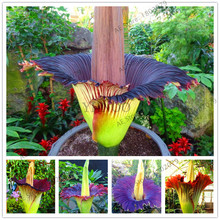 "10pcs/bag Corpse flower seeds,the Titan arum is also known as the""Corpse flower""or""Corpse plant"",bonsai plant for home garden(China)"