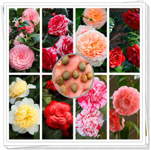 5 Seeds one pack/ True Camellia Japonia seeds,for great varieties,elegant and moving,bonsai flower for home&garden planting(China)
