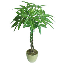 1 Seeds/pack Pachira Macrocarpa Seeds 100% True Bonsai Tree Seeds Whip Pachira for DIY Home Garden Household Items