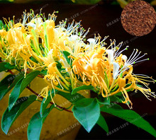New 2017 Garden Plant 200PCS Cape Honeysuckle (Tecomaria Capensis) Seeds, Fresh Exotic flower Seeds Rare Bonsai Seeds