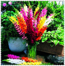 60 Sweet Smell Common Snapdragon Flower Seeds garden decoration Gorgeous