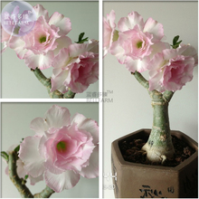 Heirloom Light Pink Adenium Obesum Desert Rose Seeds, Professional Pack, 2 Seeds, double petals E3550