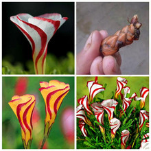 2 True Oxalis Bulbs Rare Oxalis Versicolor Flower Bulbs Botary Grass Perennial Semillas de Flores Bonsai Plant for Home & Garden