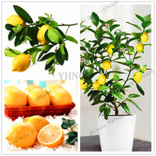 21pcs/bag,Bonsai Lemon Tree Seeds High survival Rate Fruit Tree Seeds For Home Garden Backyard,Rich nutrition