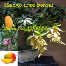 20pcs/ bag giant Mango bonsai Seeds fruit tree seed, mango tree plant for garden DIY pot plante, 3 bags send rose gift,