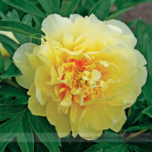 Heirloom Red Yellow Double Blooms Peony Tree Fragrant Flower Seeds, Professional Pack, 5 Seeds / Pack, Cold Hardy Paeonia #NF792