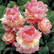 2017 New Heirloom Colorful Double Blooms Peony Tree Seeds, 5 Seeds / Pack, Easy Growing Plants DIY Home Garden Bonsai Flowerpot