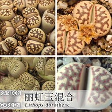 10pcs per pack  Lithops dorotheae mix seeds suit for low temperature very rale Germany stone flower seeds for home garden