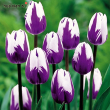 Bonsai Purple White Edge Tulip Seeds Tulip Flower Seeds Perennial Home Garden Potted Plants 100 Particles / lot