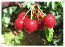 Time-Limit!!Direct US Cherries cherry tree seed seed dwarf cherry tree fruit seed South sementes da fruta,5 Pcs/Lot