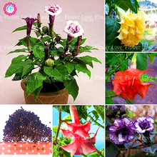 100 pcs Bonsai Double Datura Seeds Dwarf Brugmansia Angel Trumpets Perennial Flower Seeds Rare Potted Plant For Home Garden(China)