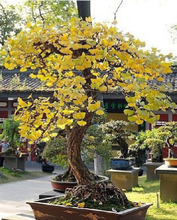 Cheap Bonsai Magical Ancient Foliage Plants, Golden Yellow Potted , Ginkgo Biloba Seeds 5 Piece