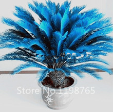 100pcs/bag blue Cycas seeds, Sago Palm Tree seeds.bonsai flower seeds,the budding rate 97% rare potted plant for home garden