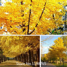 2016 Hot New Home Garden Plant 20 Seeds Ginkgo seeds biloba, Maidenhair Tree, Seeds (Fall Colors) Seeds Free Shipping