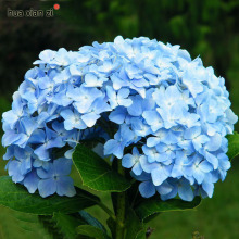 Blue Hydrangea Flower Seeds Beautiful Color Potted  Flower Plant 100 Particles / lot