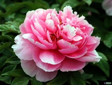 Pink peony seeds 50pcs/bag paeonia suffruticosa seeds the king of flowers, perennial potted plant(China)