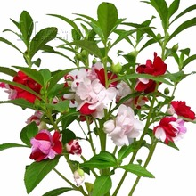 Big promotion 100 Colorful Impatiens seeds Garden Potted Flower Seeds Attractive Low maintenance