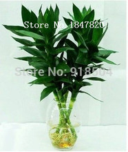 AAA 100% Genuine Rare 50pcs Lucky Bamboo seeds Anti Radiation Absorb dust tree seeds
