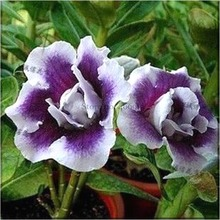 Rare Heirloom Purple White Double Desert Rose Adenium Seeds, Professional Pack, 2 Seeds, bonsai plant E3547(China)