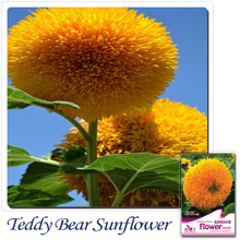 Buy 2 Get 1!(Can accumulate )  YeGarden Flower Teddy Bear Sunflower SEMI-DWARF seeds 1 Pack 20pcs A023