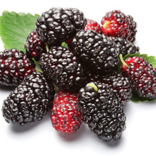 free ship 40seeds mulb erry bags Mulberry fruit seeds DIY home bonsai Morus Nigra Tree, black mulberry seeds(China)