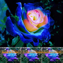 Heirloom 'JIN DE FEI' Blue-Pink Rose Seeds, 20 Seeds/Pack, Rare Flower Seeds Rosa Rugosa Bonsai Seed Balcony Plant-Land Miracle
