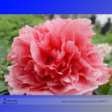 Heirloom 'Shan Hutai' Rose Red Peony Tree Flower Seeds, Professional Pack, 5 Seeds / Pack, Perennial Garden Flower E3182
