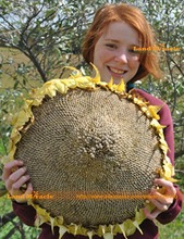 Russian Giant Sunflower Seeds, 20 Seeds/Pack, Giant Big Flower Bonsai Seeds 'Edible Sunflower Seeds'