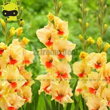 Large-flowered Sword Lily Gladiolus Bulbs Seeds, 20 Seeds/Pack, Beautiful Yellow and Orange Blossoms(China)