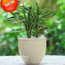 Promotion!Rare Silver Heart Lucky Bamboo Seeds Absorb Dust Tree Seeds Anti Radiation Dracaena Home Garden,100 Seed/Lot,#WOH136
