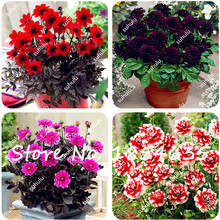 100Pcs Dahlia Seeds,Dahlia Flower,(Not dahlia Bulbs),Bonsai Flower Seeds,Natural Growth for Home Garden , the Budding Rate 96%