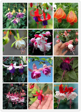 Multicolor Unique Red Fuchsia Perennial Flower Seeds Potted Flowers DIY Planting Flowers Bell Flower Seeds 120PCS