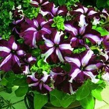 100pcs free shipping Morning glory seeds petulantly seeds balcony bonsai flower petunia DIY home&garden