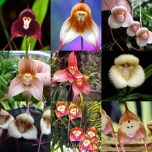 rare orchid seeds,Beautiful Monkey face orchids seeds, Multiple varieties Bonsai seeds 100 pcs / pack
